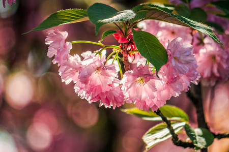 beautiful spring background with pink Japanese cherry flowers closeup on a branch on the blurred background of blossoming sakura garden