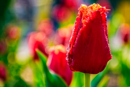 red tulip with dew drops on green blurred background of spring garden Stock Photo