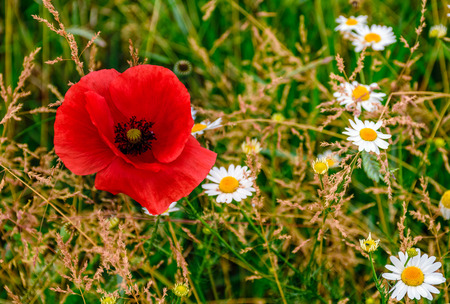 big red poppy among white daisy flowers on green grassy background Stock Photo
