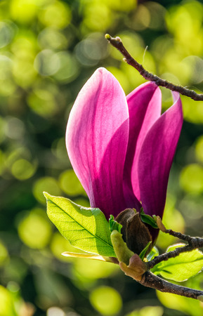 beautiful spring background with Magnolia flowers closeup on a branch on the blurred background of blossoming garden