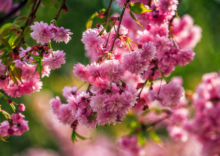 latent: beautiful spring background with pink Sakura flowers closeup on a branch on the blurred background of blossoming garden in springtime