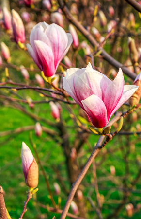 latent: beautiful spring background with Magnolia flowers closeup on a branch on the blurred background of blossoming garden