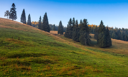 spruce trees on a grassy hill of Romanina mountains in soft morning light