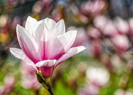 Beautiful springtime Magnolia flower blossom in garden