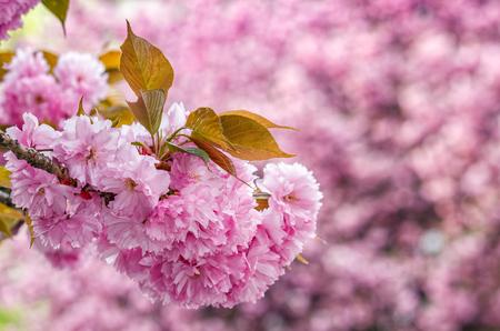 latent: Sakura flower blossom in garden Stock Photo