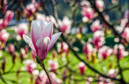 Magnolia flower blossom in garden Stock Photo