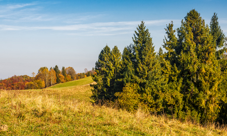 spruce forest on the hillside. sunny autumn day with blue sky. beautiful landscape view