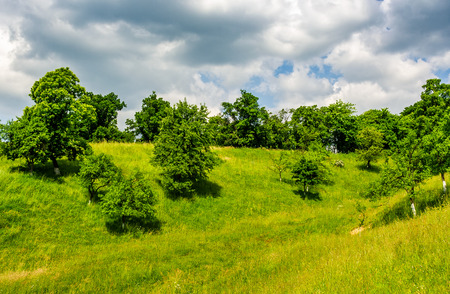 apple orchard on a grassy hillside. agricultural area in mountains. summer landscape on a cloudy day