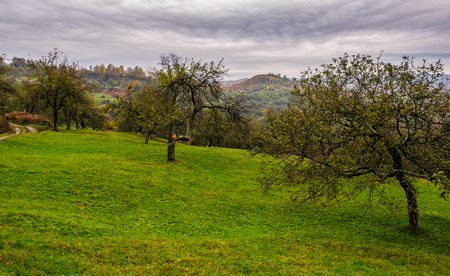 apple orchard on a grassy hillside. agricultural area in mountains. autumn landscape on an overcast day