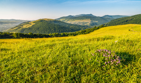 wild purple savory flowers among the grassy hillside meadow at sunrise in mountains. beautiful outdoor weather.