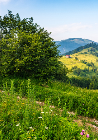 tree on a meadow in rural area. high mountain landscape. beautiful summer morning