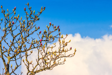 white magnolia flowers branch on a blue sky background