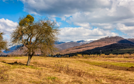 spring has sprung in rural area. tree on agricultural field with yellow weathered grass. snowy peaks of mountain ridge in the distance. nature on sunny day under blue sky with some clouds