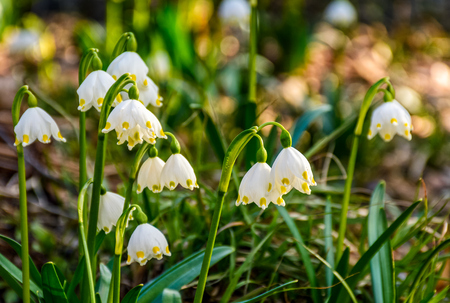 first flowers in springtime. spring snowflake also called Leucojum on a blurred background of forest meadow in sunlight. snowbell closeup. Stock Photo