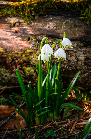 first flowers in springtime. spring snowflake also called Leucojum on a blurred background of log on forest meadow in sunlight. snowbell closeup. Stock Photo