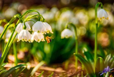 first flowers in springtime. spring snowflake also called Leucojum on a blurred background of forest meadow in mountains. snowbell closeup.