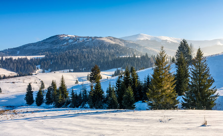 spruce forest on a meadow full of snow in mountains. beautiful landscape in good weather on a sunny winter day