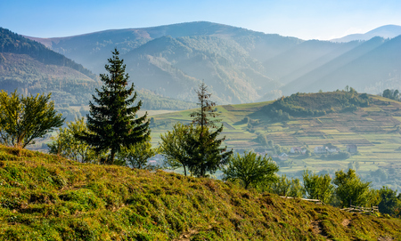 spruce forest on a hill side meadow in high mountains. beautiful early autumn landscape on a sunny day