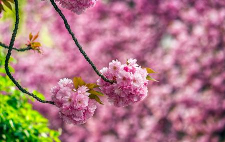 latent: Beautiful springtime closeup background. Sakura flower blossom in garden