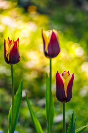 tulip with yellow stripe on blurry background of shady glade with more flowers lit with sun ray