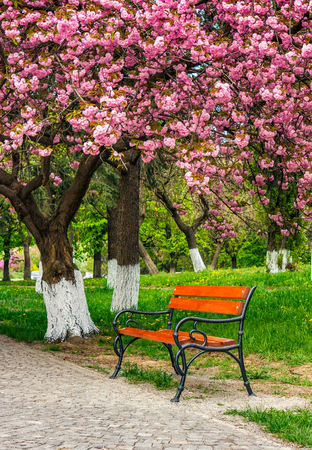 cherry blossom in city park. wooden bench under the branches of Sakura tree