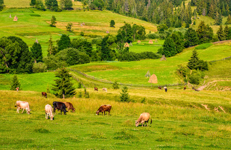 few cows grazing on hillside meadow. haystacks behind the fence on rural fields near the forest. beautiful countryside summer landscape Stock Photo
