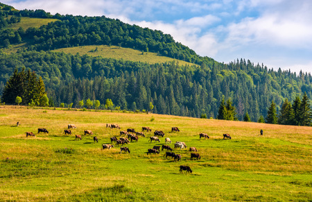 few cows grazing on hillside meadow. fence on rural fields near the forest. beautiful countryside summer landscape Stock Photo