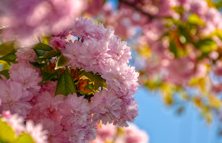 latent: beautiful spring background. pink Sakura flowers closeup on a branch. blurred background of blossoming garden in springtime