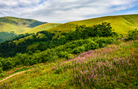 landscape with grassy meadow with purple flowers by the road on the slope of a hill. Carpathian mountain ridge Borzhava on a beautiful sunny summer day