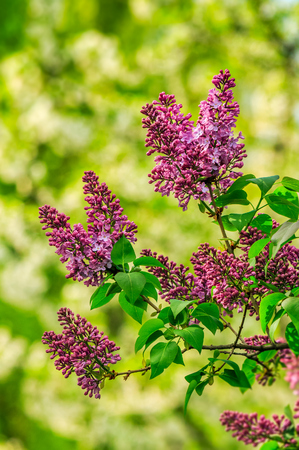 beautiful spring background. pink lilac flowers closeup on a branch. blurred background of blossoming garden in springtime
