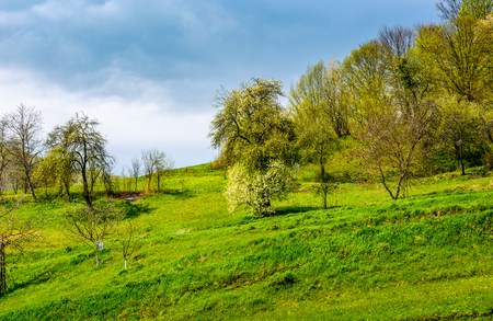 apple orchard on a grassy hillside. agricultural area in mountains. springtime landscape on a cloudy day Stock Photo