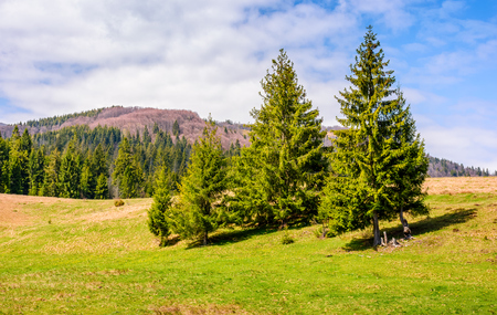 Spruce forest at mountain hillside. meadows with weathered grass on bright sunny day with blue sky and clouds. beautiful springtime landscape Stock Photo