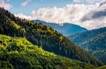 coniferous forest on a steep mountain hillside. springtime weather with blue sky and cloud Stock Photo