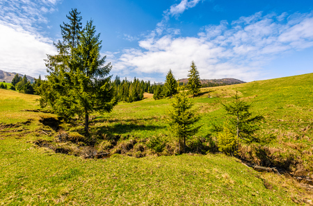 mountain stream flows among spruce trees. landscape with forest on grassy meadow under the blue sky with clouds. serene springtime weather
