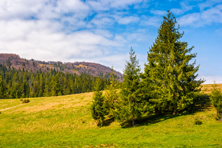 Pine forest at the foot of the mountain on a bright sunny day. blue sky with clouds in springtime landscape