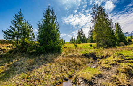 mountain stream flows among spruce trees. landscape with forest on grassy meadow under the blue sky with clouds. serene springtime weather in mountains