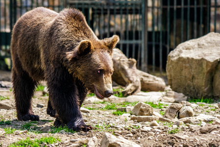 curious little brown bear in Carpathians. Rehabilitation center near Synevir lake in TransCarpathia, Ukraine.