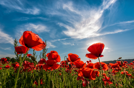 poppy flowers field under the blue sky with clouds. beautiful summer landscape at sunset Standard-Bild