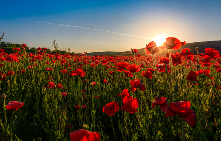 poppy flowers field in mountains. beautiful summer landscape at sunset Stock Photo