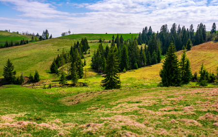 Conifer forest on a hill on a bright sunny day. blue sky with clouds in summer landscape
