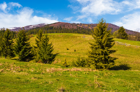 Conifer forest at the foot of the mountain on a bright sunny day. blue sky with clouds in summer countryside landscape