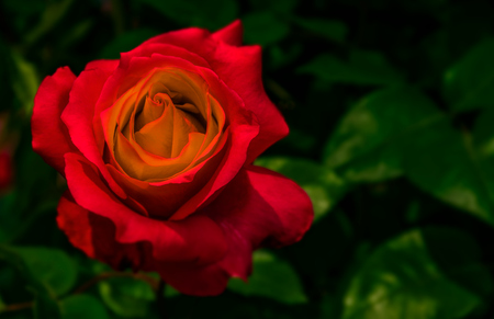 red rose on green blurred background in garden