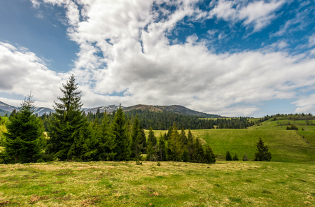 Conifer forest on a hill on a bright sunny day. blue sky with clouds in summer countryside landscape Stock Photo