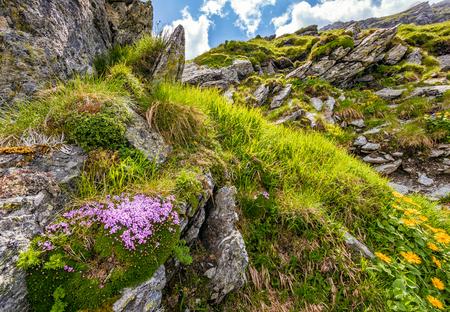 岩が多い山腹の急斜面で草の中で美しい花