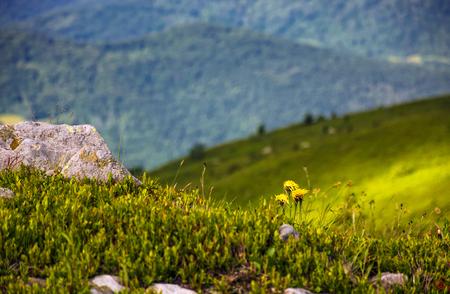 Dandelions among the rocks in Carpathian Alps. Vivid summer landscape at sunset.