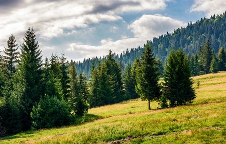 spruce forest at the foot of the mountain on a bright sunny day. blue sky with clouds in summer landscape Stock Photo