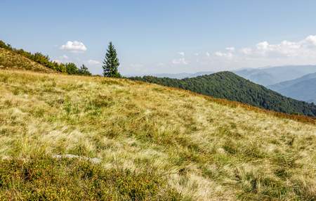 spruce tree on a grassy meadow near the mountain peak. warm and calm weather under the blue sky with  some clouds in early autumn day Stock Photo