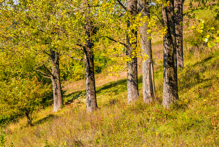 Few trees on grassy hillside at autumn sunrise. natural background of yellow and green foliage