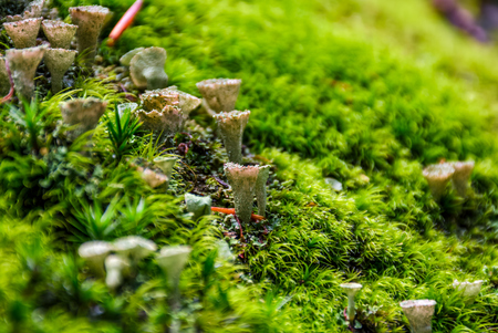 small toxic mushrooms in the moss closeup. beautiful but poisonous nature aliens Stock Photo