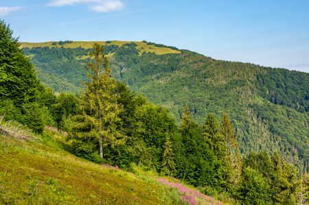 hillside with conifer forest and fireweed. beautiful colors of purple flowers and green trees in mountains against the blue sky Stock Photo